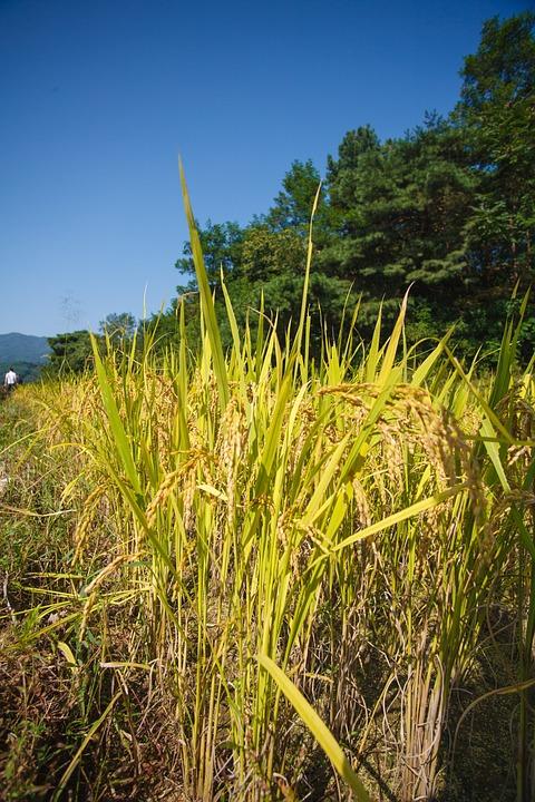 Rice Paddies, Autumn, Harvest, Farming