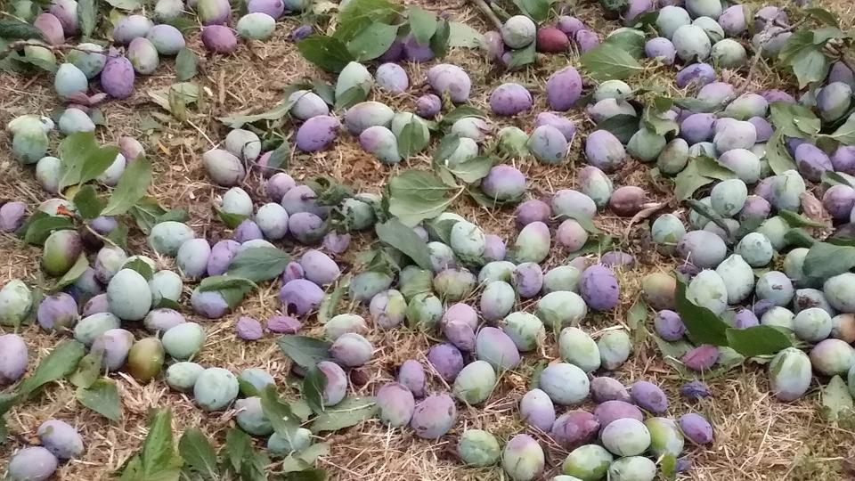 Plums, Harvest, Ripe