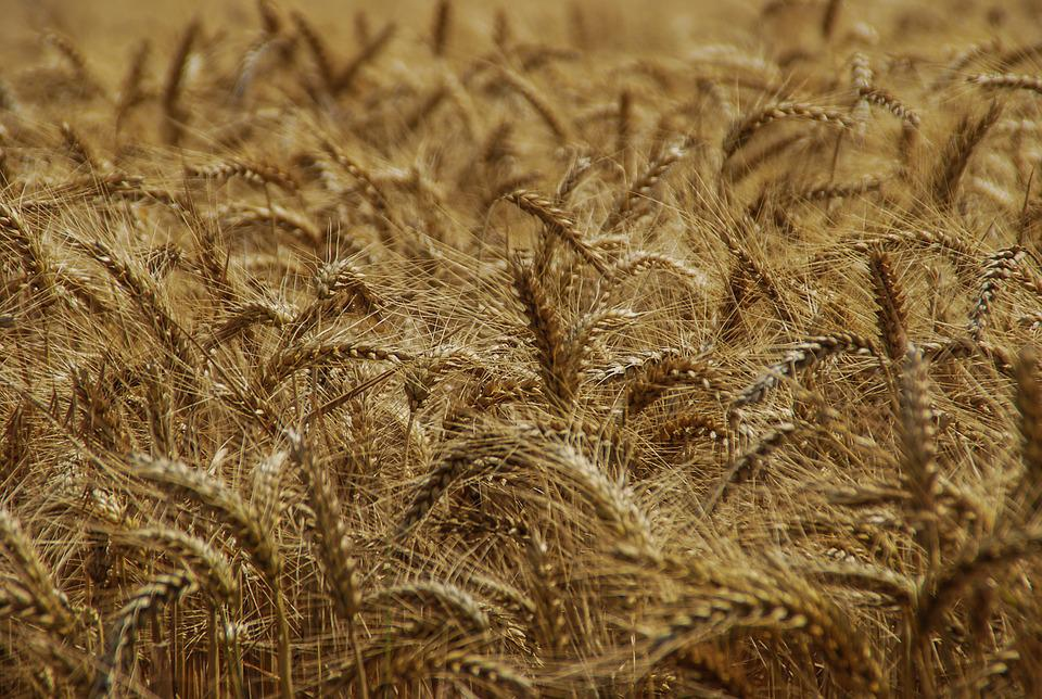 Straw, Harvest, Nature, Gold, Approach, Seed, Dry