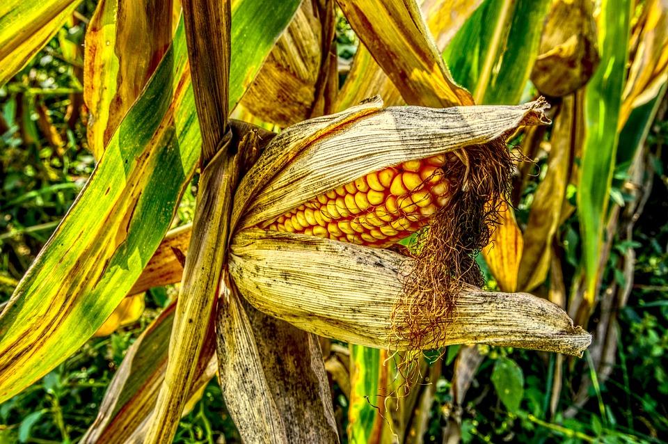 Corn, Corn On The Cob, Close, Yellow, Harvest, Ripe