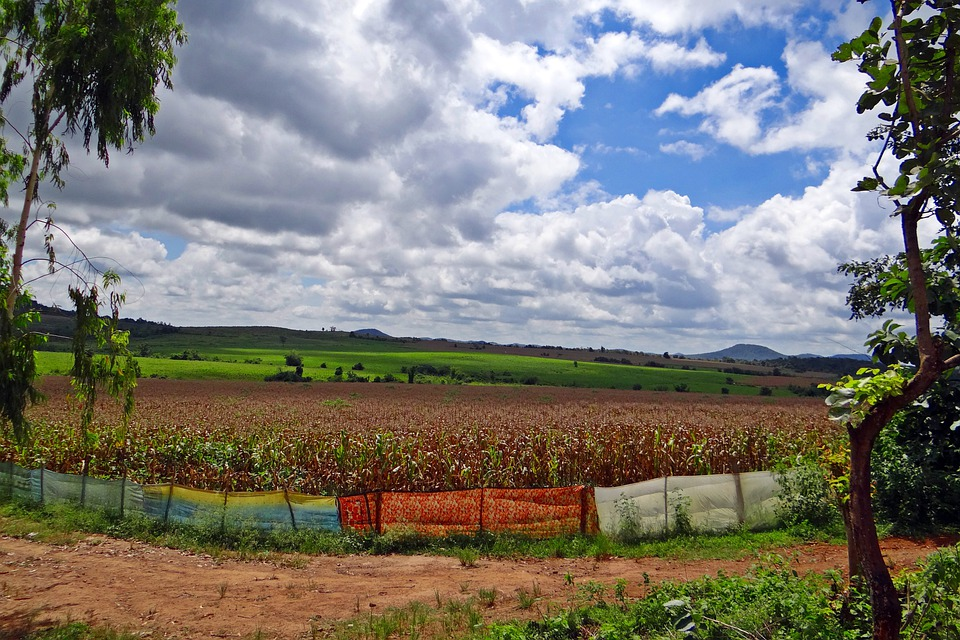 Maize Cultivation, Harvest-ready, Stratocumulus-clouds