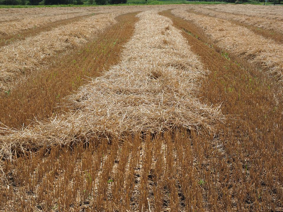 Field, Wheat Field, Cornfield, Harvested, Harvest