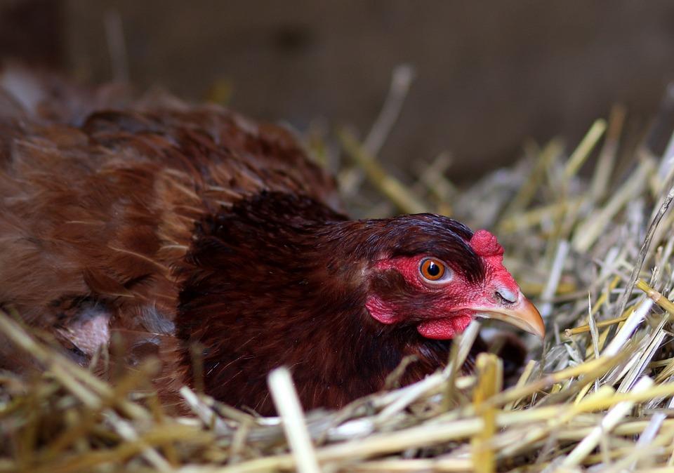 Gaina, Hen, Nest, Birds, Hatch