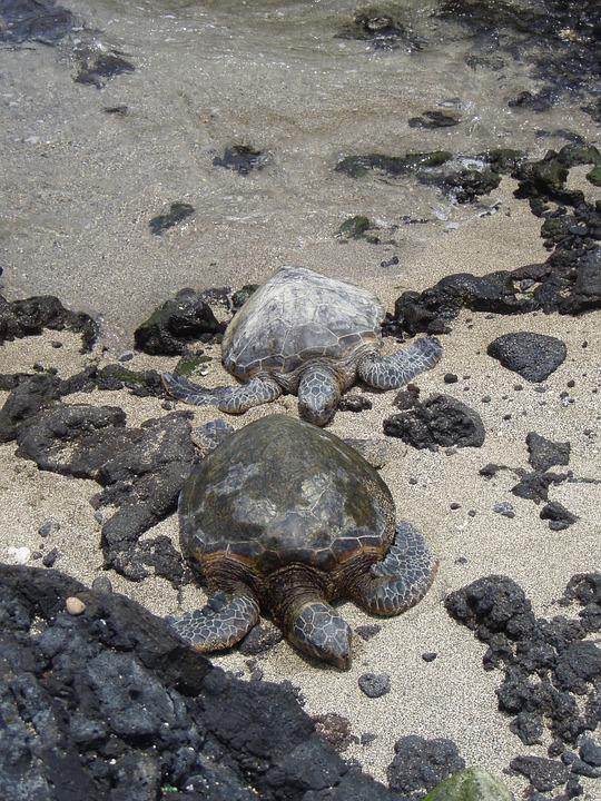 Turtles, Couple, Hawaii, Turtle, Nature, Water, Beach