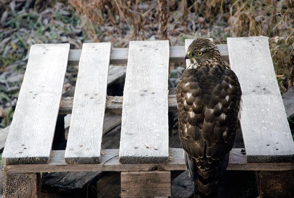 Goshawk, Bird, Hawk