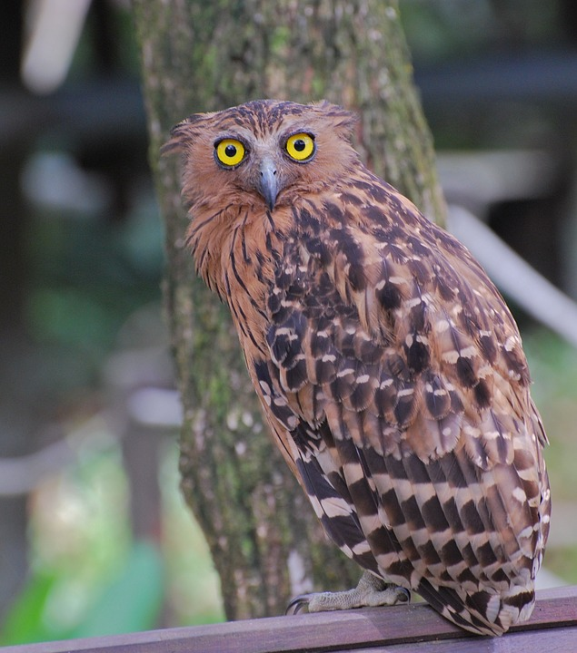 Owl, Hawk, Bird