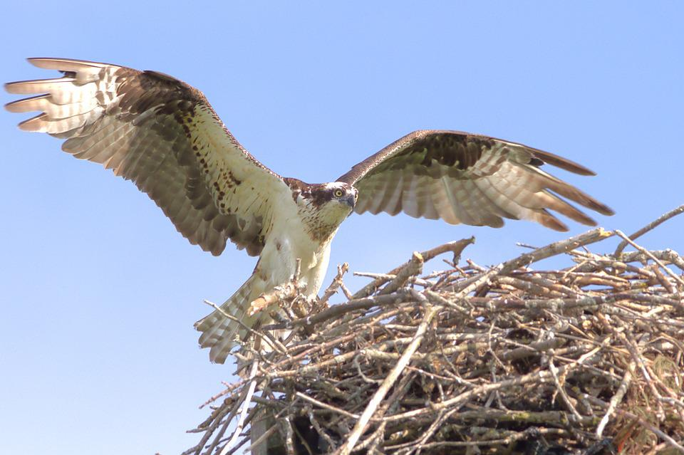 Osprey, Hawk, Bird, Nest, Wildlife, Flying, Predator