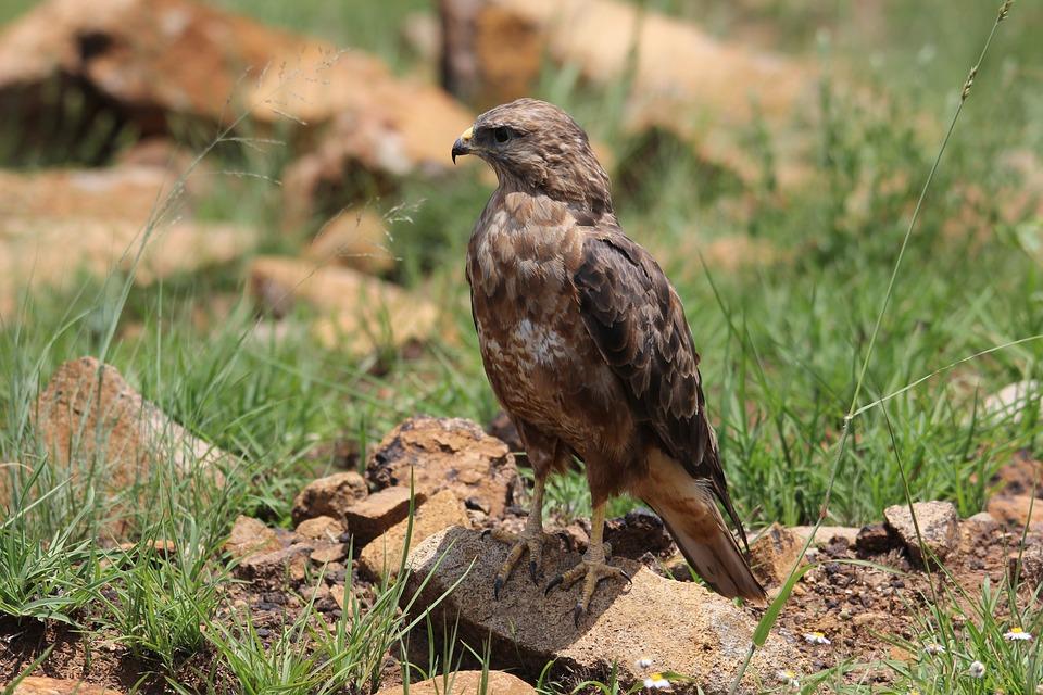 Falcon, Hawk, Eagle, Bird, Watching, Pilanesberg