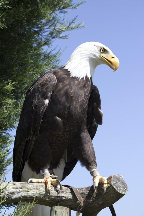 Bird, Eagle, Prey, Feather, Nature, Wildlife, Hawk