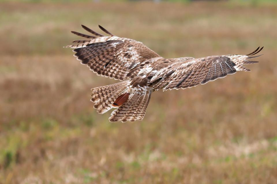 Red-tailed Hawk, Juvenile, Hawk, Raptor, Bird