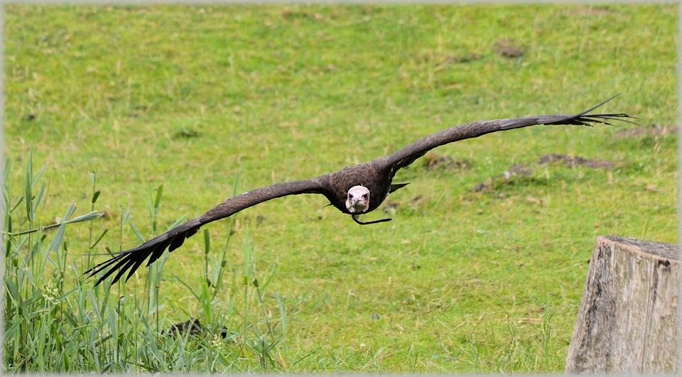Hawks, Birds, Raptors, Flying, Large, Eagles