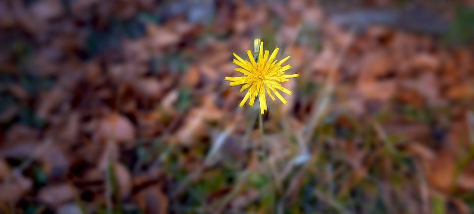 Hawkweed, Flower, Plant, Blossom, Bloom, Yellow, Nature