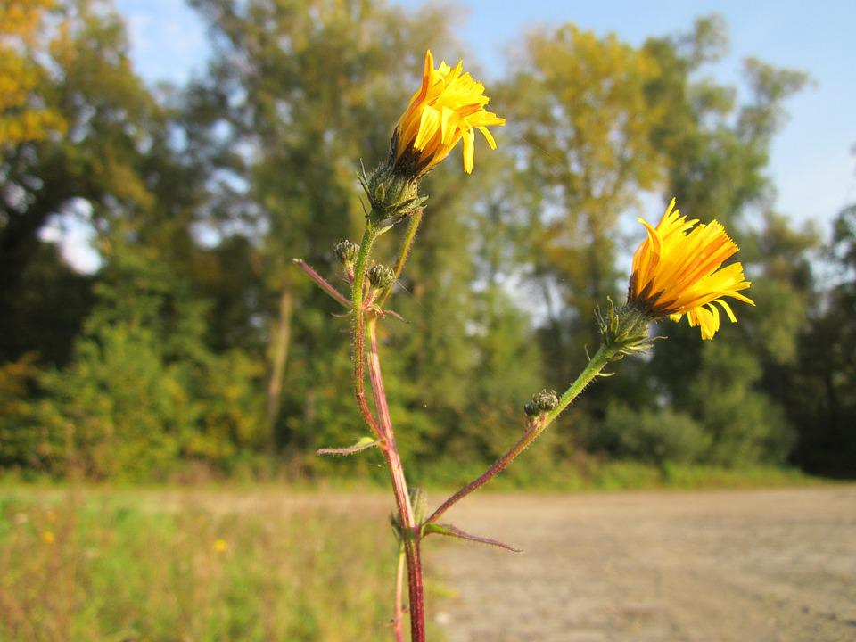 Picris Hieracioides, Hawkweed Oxtongue, Daisy