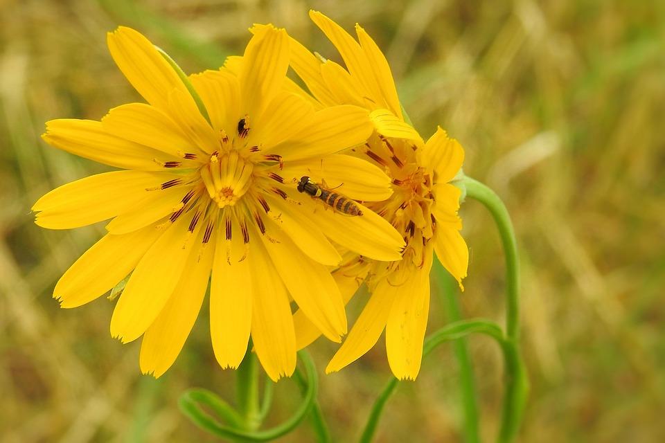 Hawkweed, Yellow Hawkweed, Composites, Asteraceae