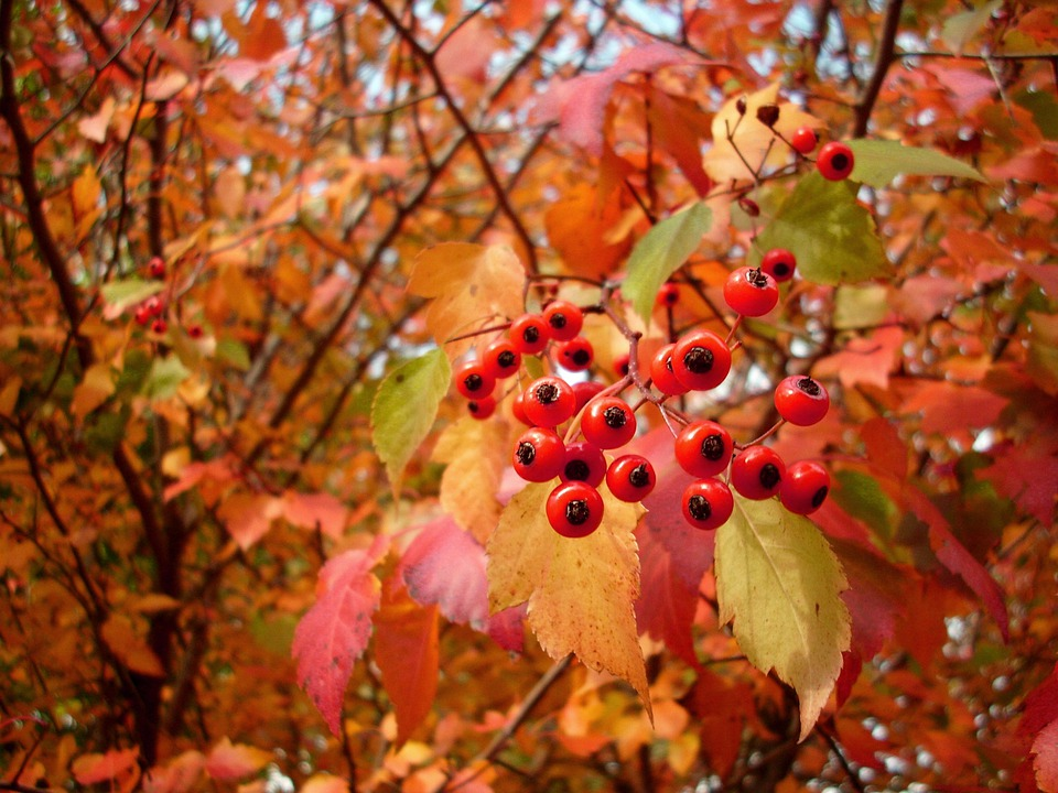 Hawthorn, Berries, Red, Fall, Autumn, Edible