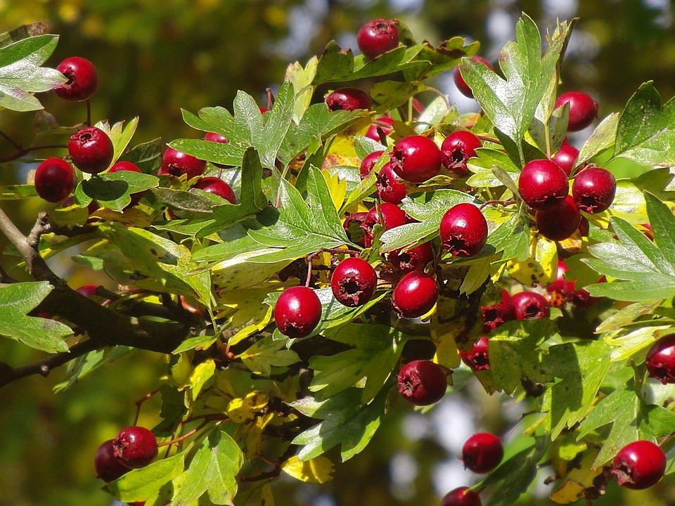 Hawthorn, Hawthorn Berries, Berry Red, Autumn Fruit