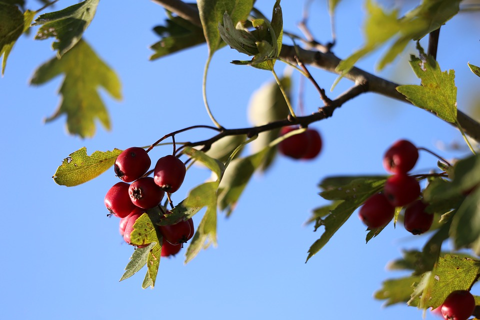 Hawthorn, Red Berries, Leaves, Green, Sky, Blue, Autumn