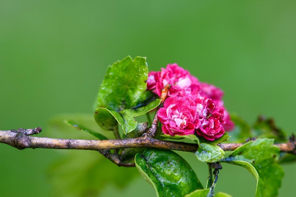 Hawthorn, Flowers, Wet, Dew, Dewdrops, Raindrops, Bloom
