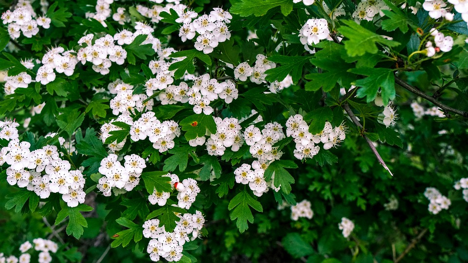 Flowers, Shrub, Hawthorn, White Flowers