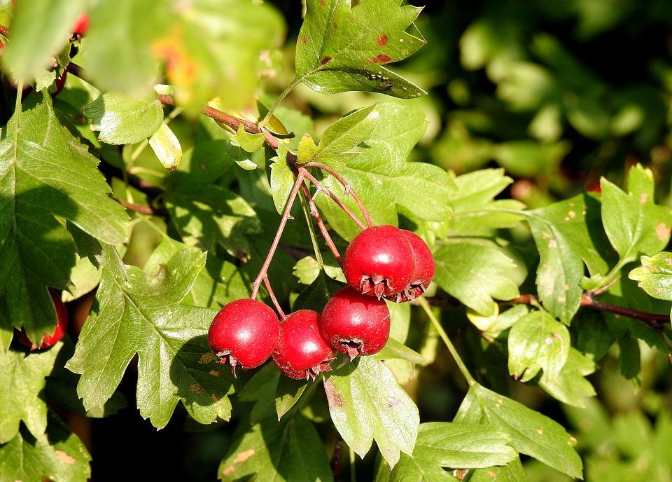 Crataegus, Hawthorn Fruit, Red Fruits, Red, Berries