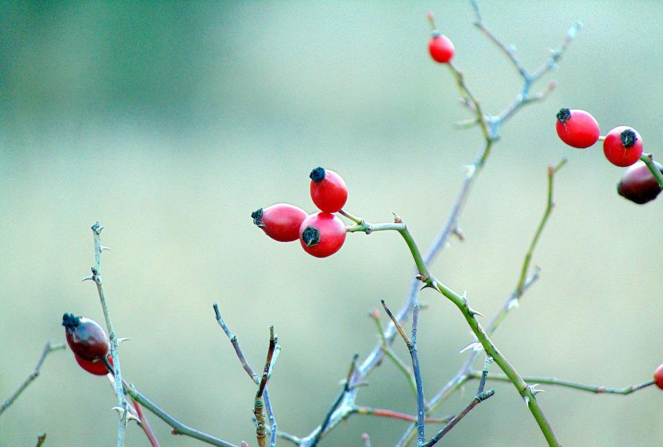 Hawthorn, Red Berries, Hedge