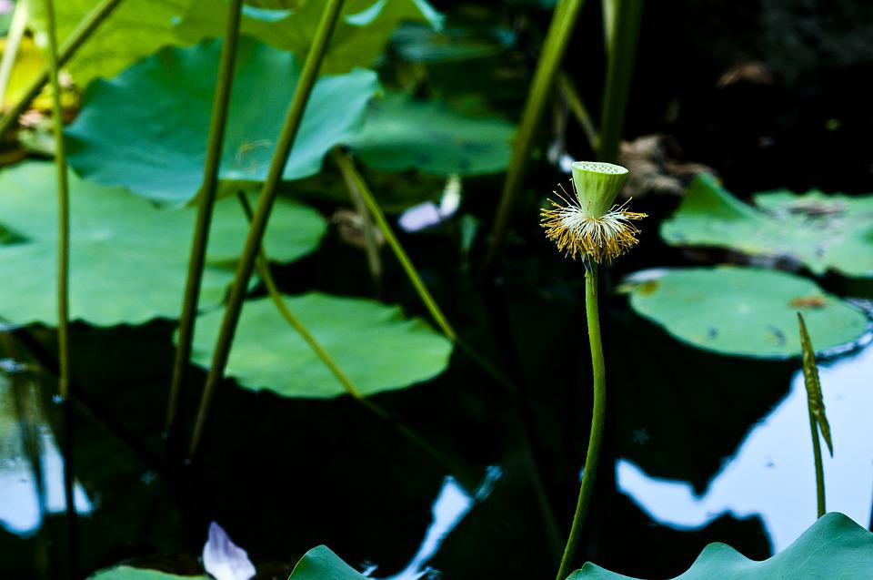 Suzhou, Start Garden, Hawthorn, Lotus Leaf, Lotus Root
