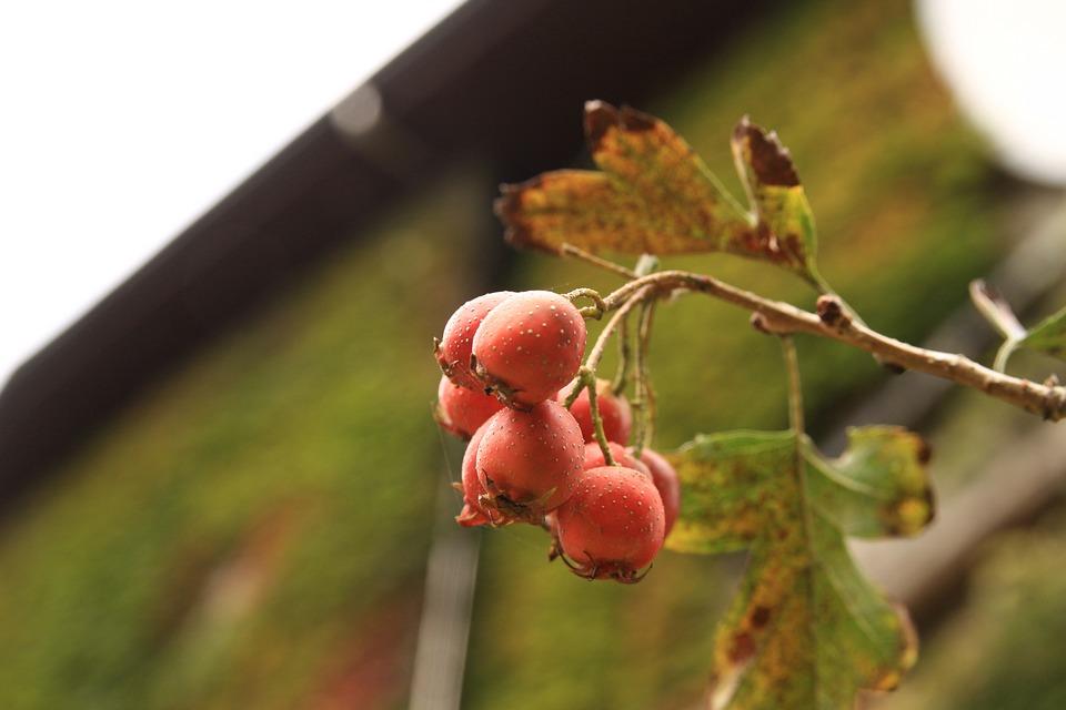 Mountain Fruit, Nature, Wood Heat, Hawthorn