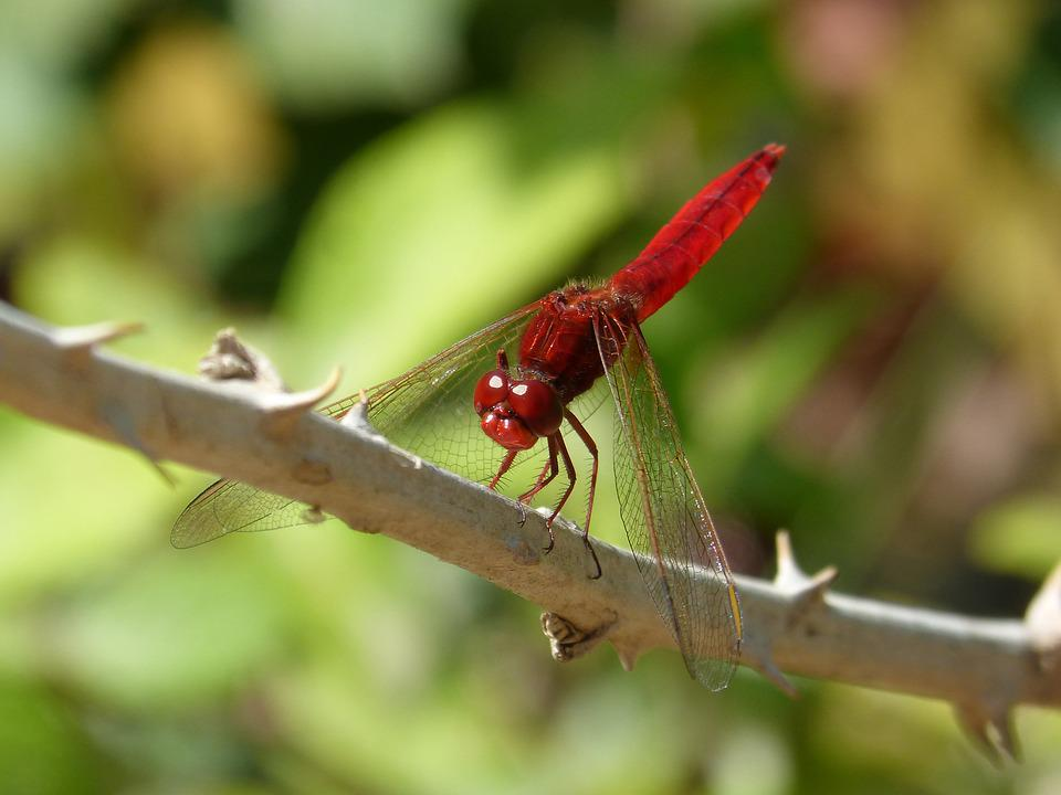 Red Dragonfly, Dragonfly, Hawthorn, Greenery