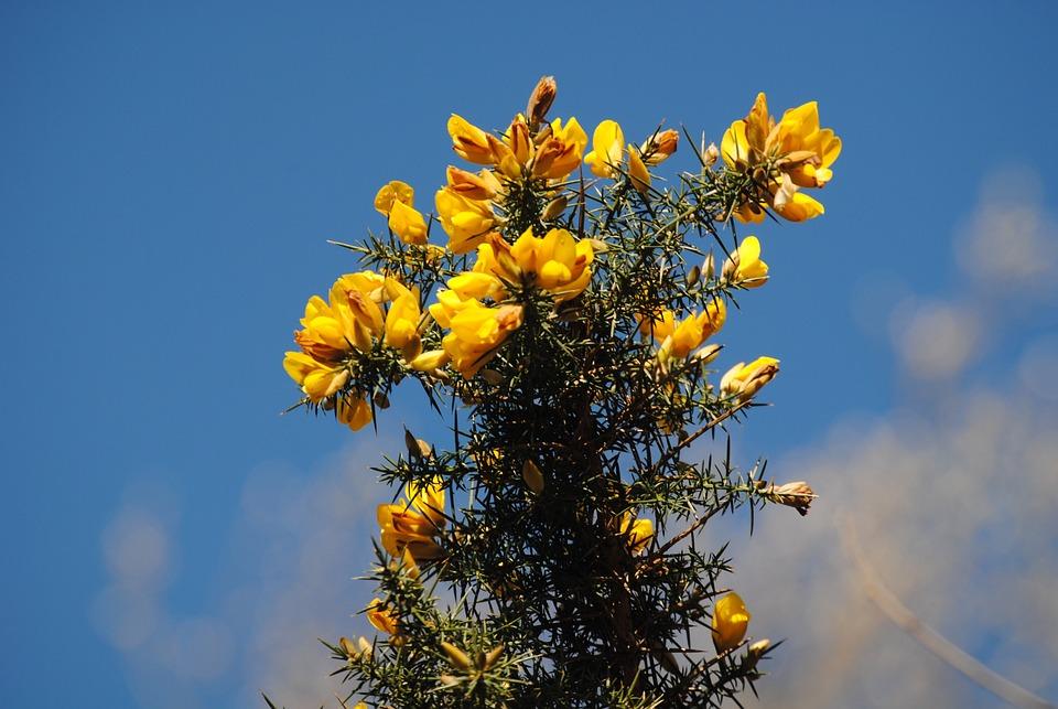 Hawthorn, Flower, Yellow, Thorns, Thorny, Flora