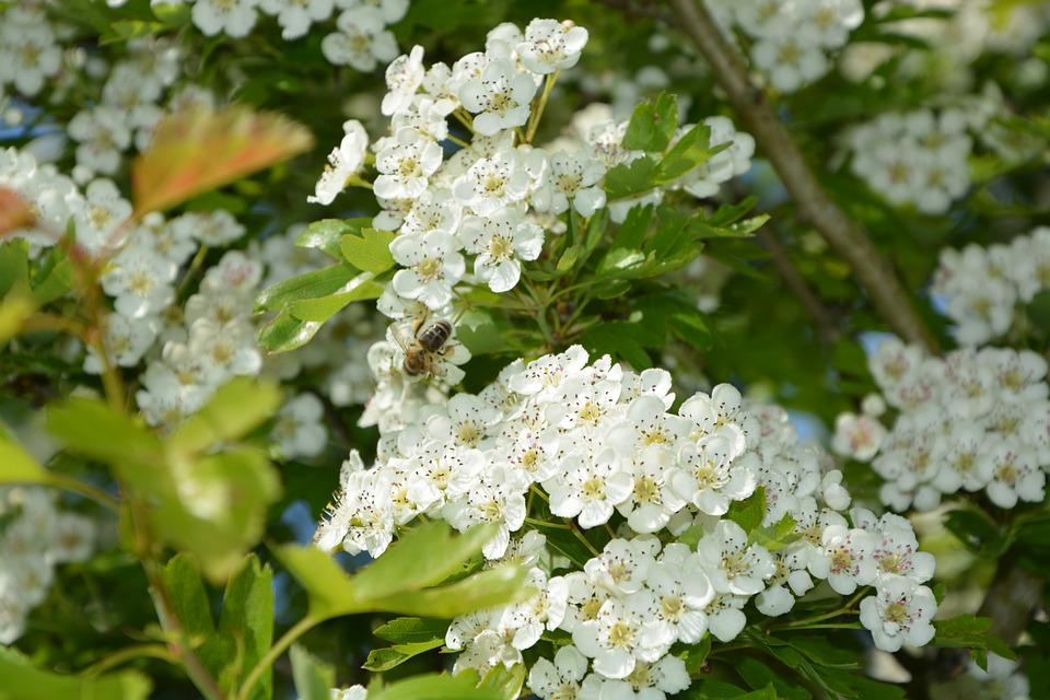 Flowers, Leaves, Hawthorn, Tree, Shrub, Flowered, Plant