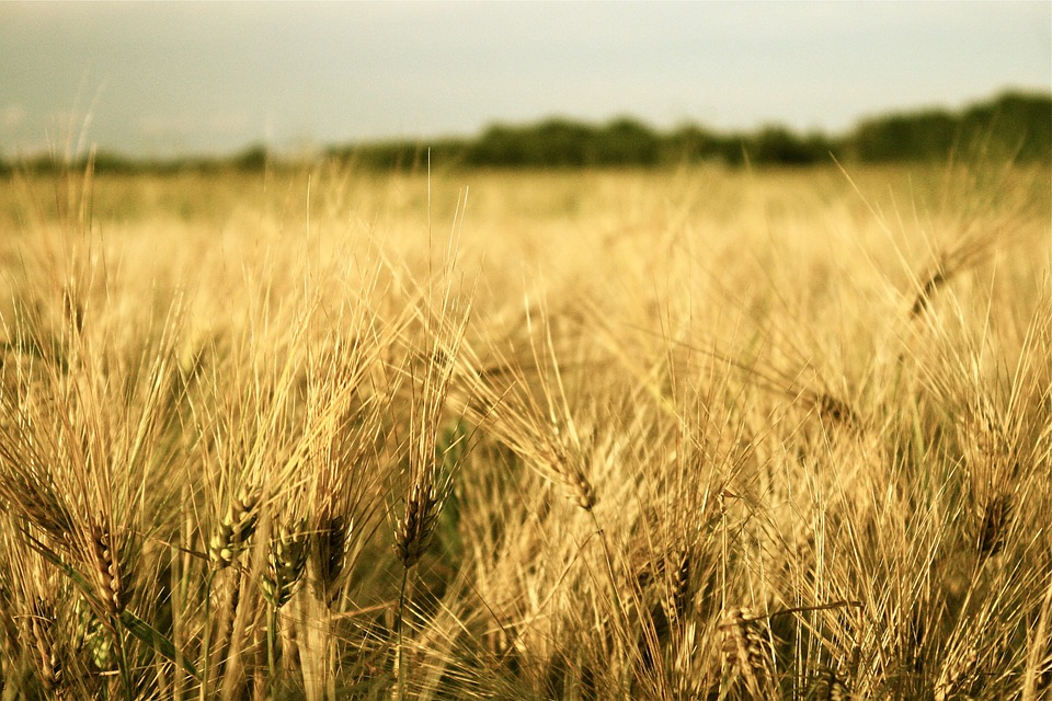 Field, Grain, Plant, Harvest, Cereals, Agriculture, Hay