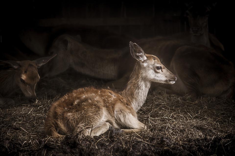 Animal, Antler, Baby, Buck, Deer, Farm, Fur, Hay