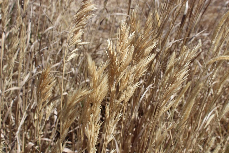 Wheat, Country, Hay, Agriculture, Rural, Field