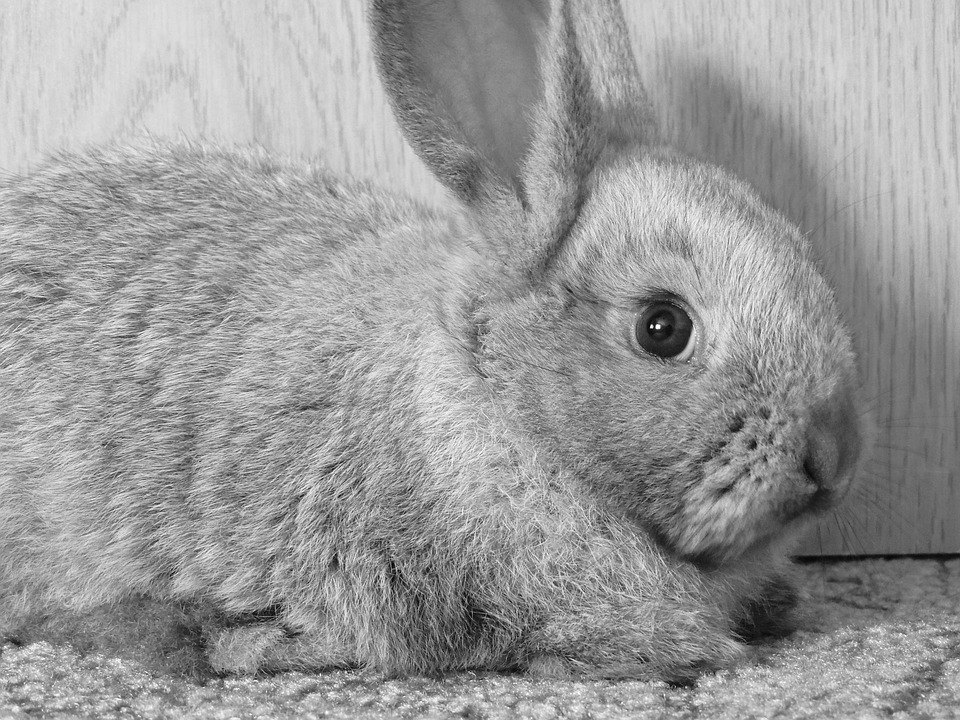 Rabbit, Hay, Ears, Sad, B W Photography