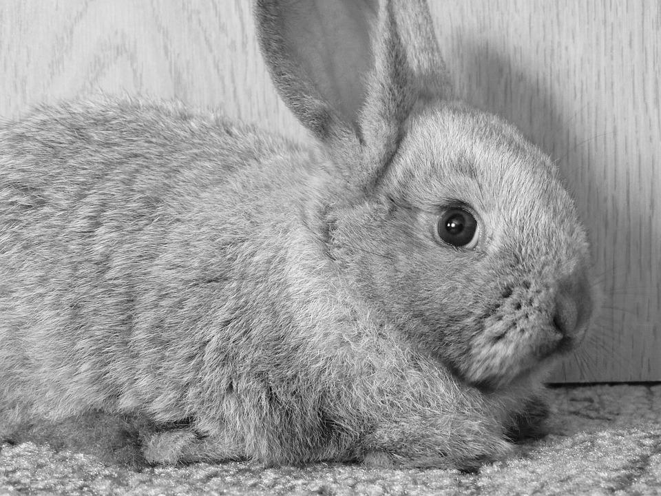 Rabbit, Hay, Ears, Sad, B W Photography