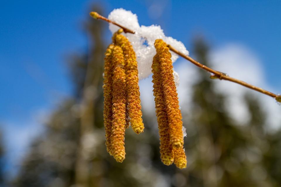 Hazel, Hazelnut, Snow, Season, Tree, Blossom Kitten