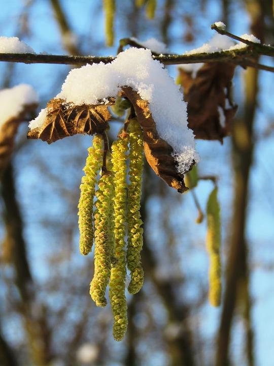 Hazelnut, Kitten, Birch Greenhouse, Male Blossom, Hazel