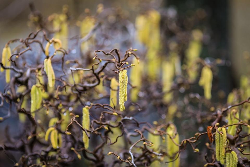 Hazel, Peanut Flower, Peanut Bush, Yellow