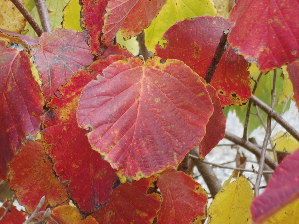 Autumn, Leaf, Red, Hazel Tree, Red Leaves, Nature