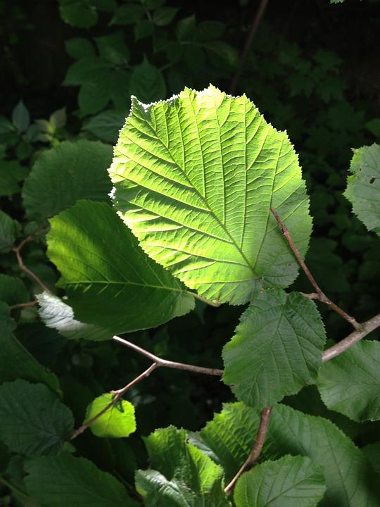 Hazelnut, Hazelnut Leaf, Leaf, Back Light, Green, Sun