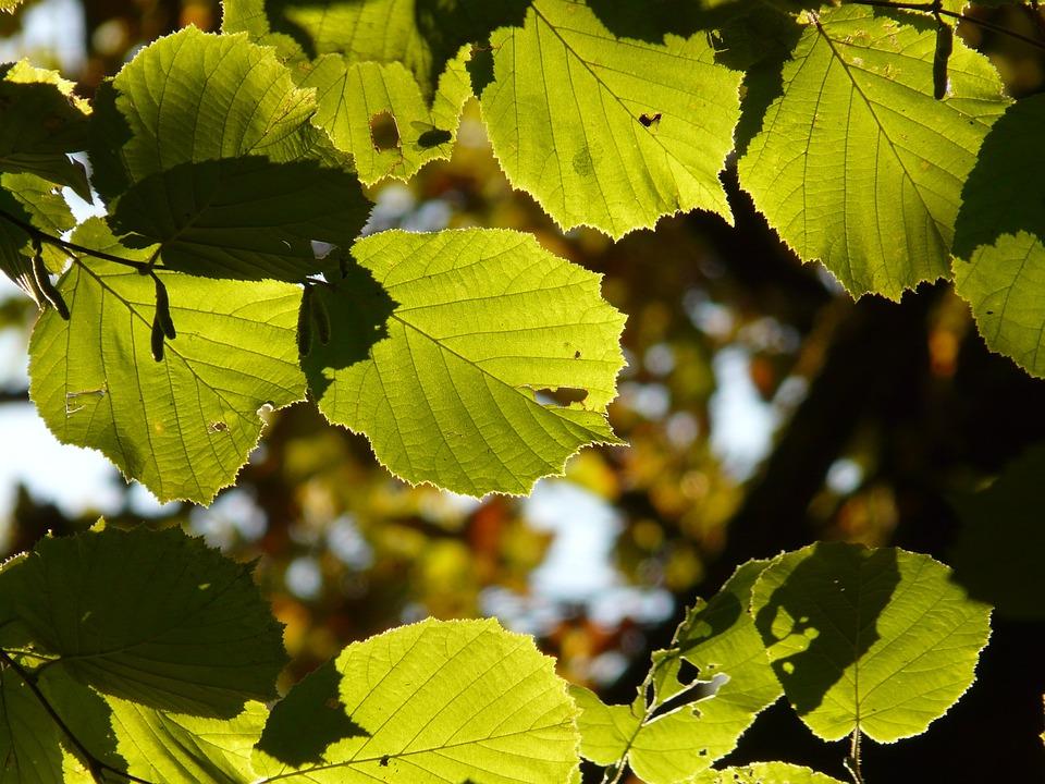 Leaf, Leaves, Back Light, Walnut, Hazelnut