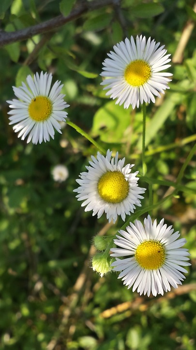 Daisy, Spring, Nature, He Loves Me He Loves Me Not