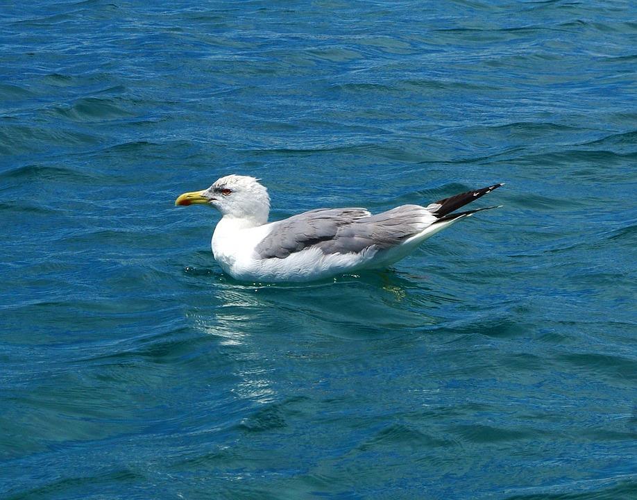 Gull, Bird, Animal, Water, Close, Water Bird, Fly, Head