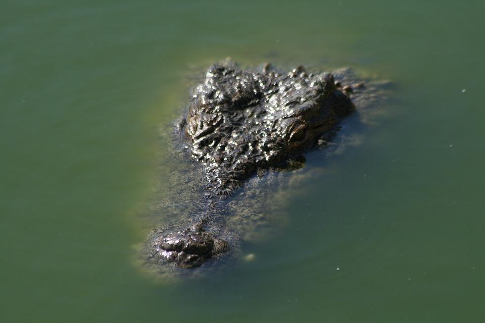 Crocodile, Reptile, Animal, Nature, Water, Wild, Head