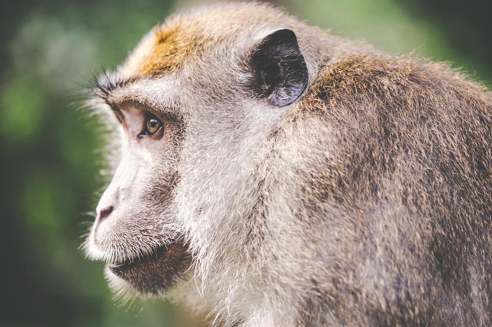 Monkey, Animal, Face, Portrait, Side, Head, Nature