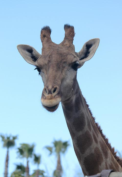 Giraffe, Neck, Animals, Animal, Nature, Head, Fauna