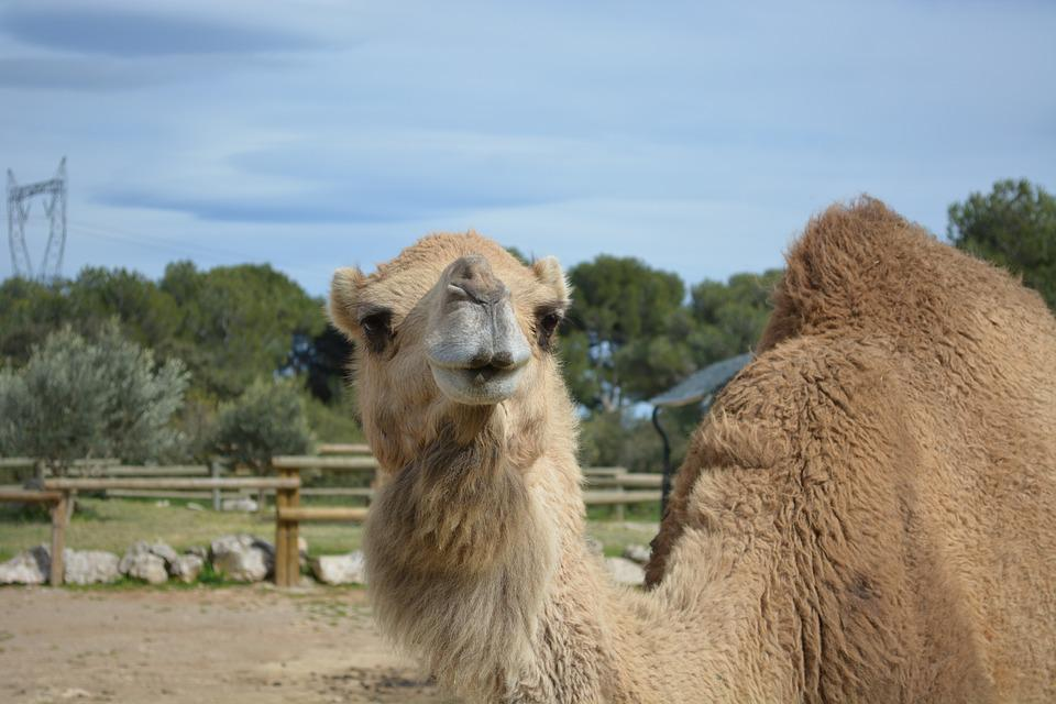 Camel, Animals, Zoo, Head