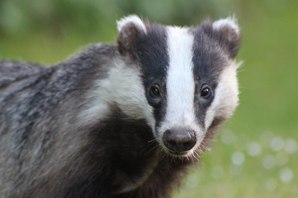 Badger, Closeup, Garden, Nature, Animal, Head