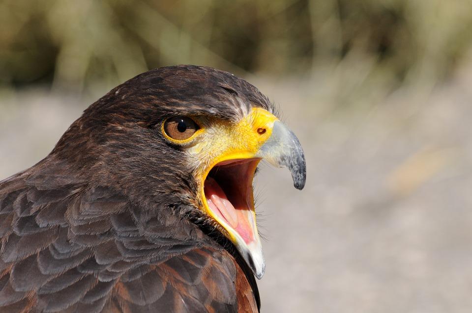 Hawk, Bird, Portrait, Head, Beak, Animal, Bird Of Prey