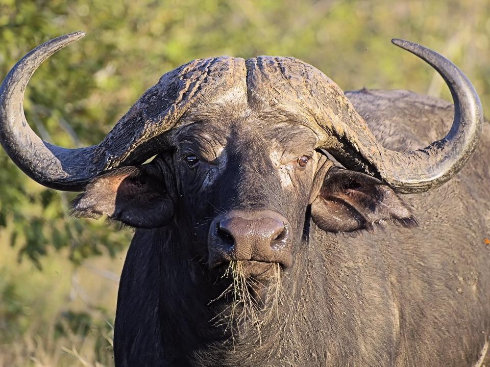 Buffalo, Head, Horns, Massive, Beast, Dangerous, Africa